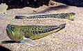Trachinus draco 2.jpeg