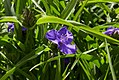 Tradescantia virginiana 'Zwanenburg Blue'-IMG 0487.jpg
