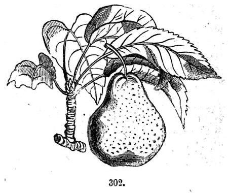 Trattato completo di agricoltura volume ii del pero for Pirus pianta
