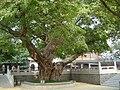 Tree in Baomo Garden.jpg