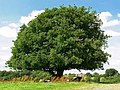 Tree near Old Parks Farm - geograph.org.uk - 913385.jpg