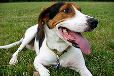 Treeing Walker Coonhound.jpg