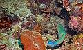 Tricolour Parrotfish (Scarus tricolor) male (8473833514).jpg