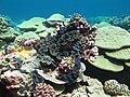 Tridacnas en Kingman Reef.jpg