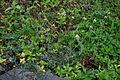 Tridax procumbens habit5 (16191055360).jpg