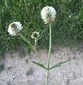 Trifolium montanum a1.jpg