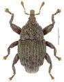 Trigonopterus lewisensis Riedel, holotype.tif