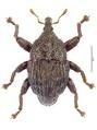 Trigonopterus robertsi Riedel, holotype.tif