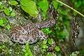 Trimeresurus purpureomaculatus, Mangrove pit viper (adult) - Kra Buri District, Ranong (36136735182).jpg