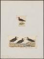 Tringa maculata - 1700-1880 - Print - Iconographia Zoologica - Special Collections University of Amsterdam - UBA01 IZ17400235.tif