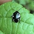 Tritomegas sexmaculatus 75372798.jpg