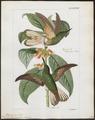 Trochilus flavescens - 1820-1860 - Print - Iconographia Zoologica - Special Collections University of Amsterdam - UBA01 IZ19100347.tif