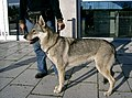 Tschech Wolfshund.jpg