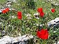 Tulipa agenensis 1.jpg