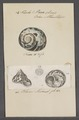 Turbo pica - - Print - Iconographia Zoologica - Special Collections University of Amsterdam - UBAINV0274 082 23 0016.tif