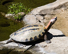 Turtle Stretching Its Neck.jpg