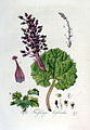Tussilago hybrida — Flora Batava — Volume v3.jpg