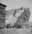Twee mannen op een hennepberg in Helmond, Bestanddeelnr 254-4262.jpg