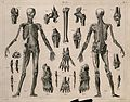 Two écorché figures, with details of miscellaneous bones and Wellcome V0008468.jpg