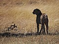 Two out of the only 3 cheetahs in Mara (20792979799).jpg