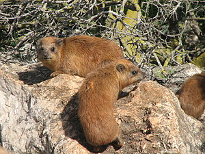 Rock hyrax - The dorsal gland can be seen here as a patch of fur with a lighter colouration