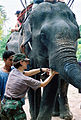 US Navy 020612-N-3428W-050 U.S. Army Captain Kim Lawler provides care to an elephant near as part of exercise Cooperation Afloat Readiness And Training (CARAT).jpg