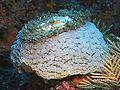 Umbraculum umbraculum, Izu 2.jpg