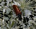 Unid. longhorn beetle - Flickr - S. Rae.jpg