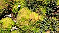 Unidentified succulents at Huntington Library, Art Collections and Botanical Gardens.jpg