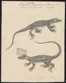Varanus bengalensis - 1700-1880 - Print - Iconographia Zoologica - Special Collections University of Amsterdam - UBA01 IZ12400041.tif