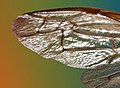 Variety of different insect wings, details of wings of a wasp, a series of photos, 3rd of 3.jpg