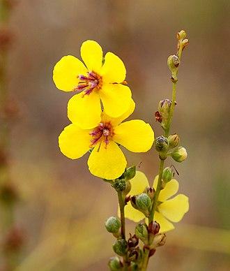Verbascum - Wavyleaf mullein, Verbascum sinuatum
