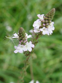 Verbena officinalis1pl