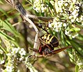 Vespa crabro fighting with praying Mantis over a small bee (32235766023).jpg