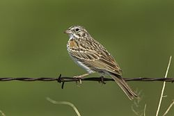 Vesper Sparrow - Oregon - USA S4E9981 (22763928884).jpg