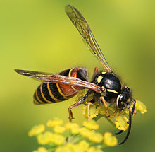 Vespula rufa on bupleurum falcatum Richard Bartz.jpg