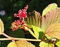 Viburnum plicatum - Botanischer Garten, Frankfurt am Main - DSC03305.JPG