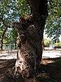 Vichy - Parc Napoléon III, érable negundo (2).jpg