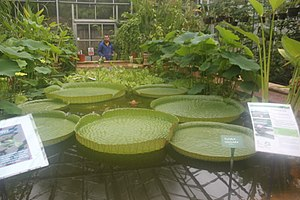 University of Bristol Botanic Garden - Victoria cruziana in the tropical zone greenhouse