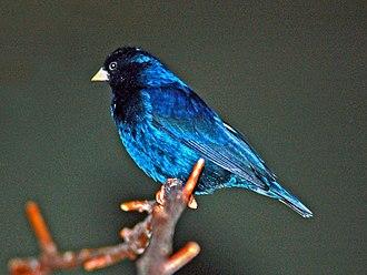 Village indigobird - Blue plumage gloss in strong illumination