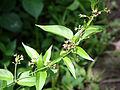 Vincetoxicum rossicum SCA-5050.jpg