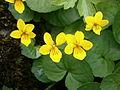 Viola biflora 002.jpg