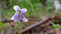 Viola hederacea flower from behind (16092302096).jpg