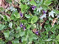 Violets in Devon Hedgerow - geograph.org.uk - 150370.jpg