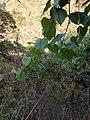 Vitis tiliifolia.jpg