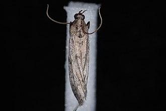 Vitula edmandsii - Vitula edmandsii serratilineella