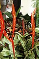 VrieseaSplendens2.jpg