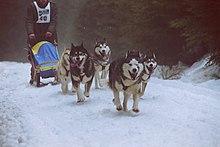Sled Dog Wikipedia