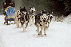 Perro de trineo  Wikipedia la enciclopedia libre