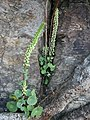 Wall Pennywort, Umbilicus rupestris - geograph.org.uk - 465324.jpg